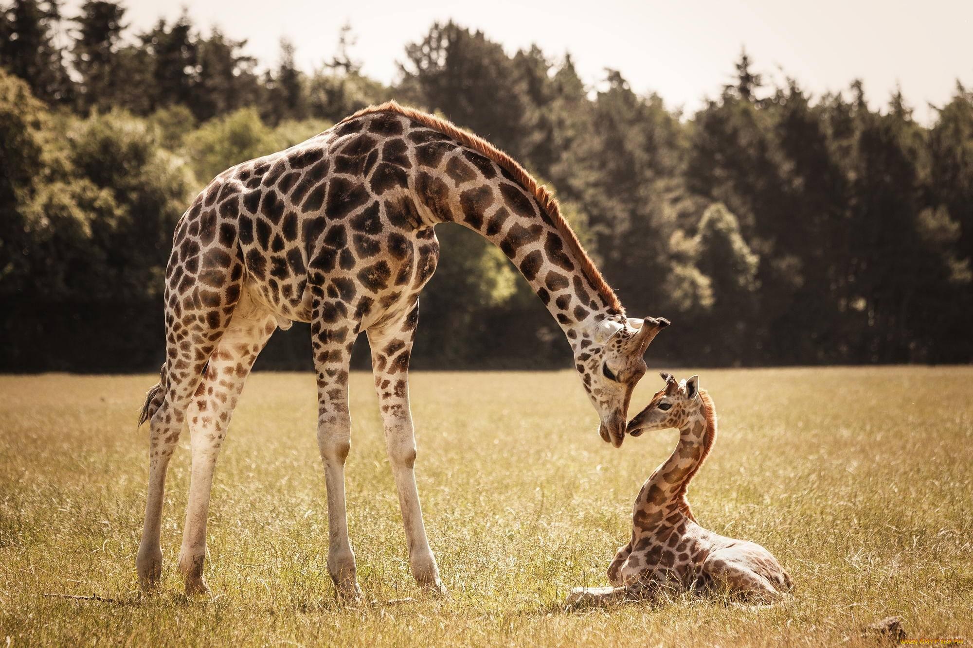 Жираф картинки маленькие